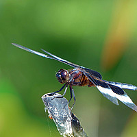 Buy canvas prints of Dragonfly by Frankie Cat