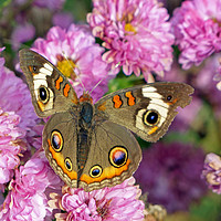 Buy canvas prints of Common Buckeye Butterfly by Frankie Cat
