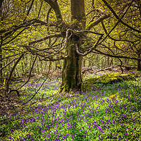 Buy canvas prints of Hay Wood Bluebells by Paul Andrews