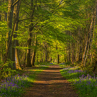 Buy canvas prints of Clumber Park Bluebells by Paul Andrews