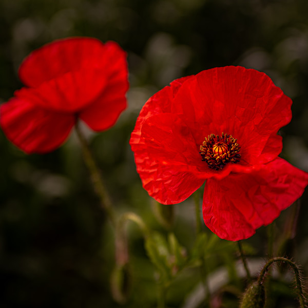 Blood Red Poppy Canvas print by Paul Andrews