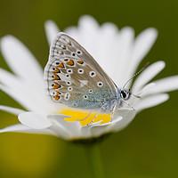 Buy canvas prints of Common blue on daisy by Iain Leadley