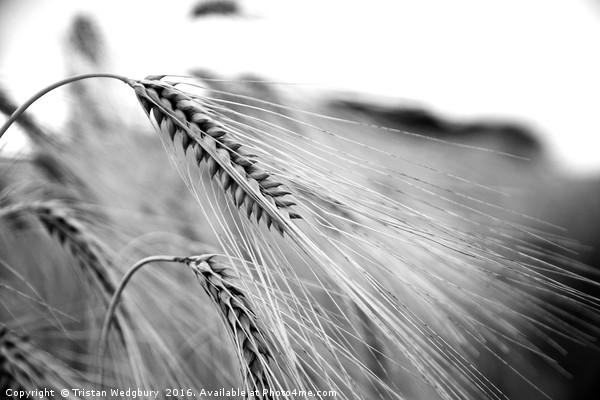 Black and White Barley Ears Canvas print by Tristan Wedgbury