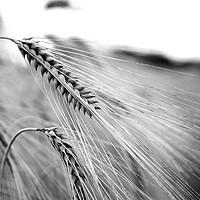 Buy canvas prints of Black and White Barley Ears by Tristan Wedgbury