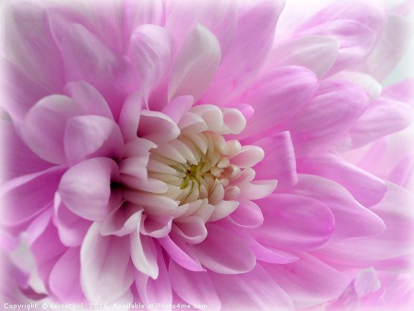 Pink Mums Canvas Print by dorsetgirl
