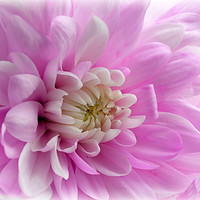 Buy canvas prints of Pink Mums by dorsetgirl