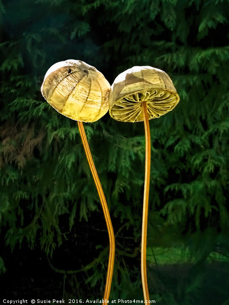 Two Little Shrooms Canvas Print by Susie Peek