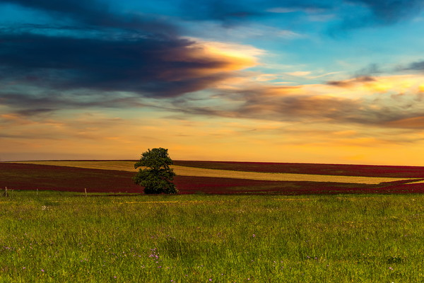 Clover field and sunset sky. Rural landscape. Czec Canvas print by Sergey Fedoskin