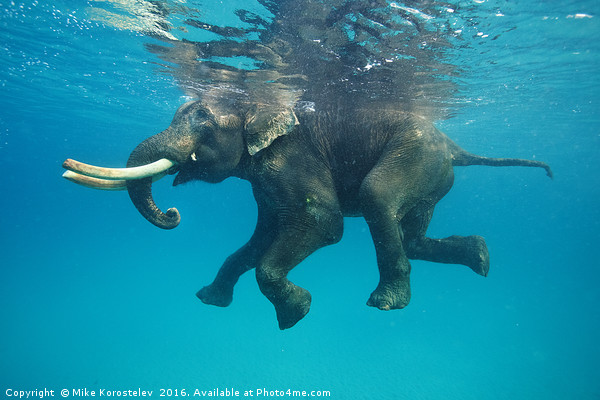 Swimming elephant Framed Print by Mike Korostelev