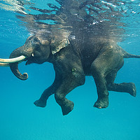 Buy canvas prints of Swimming elephant by Mike Korostelev