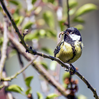 Buy canvas prints of Great Tit by Ian Haworth