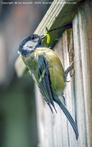 Blue Tit Canvas print by Ian Haworth