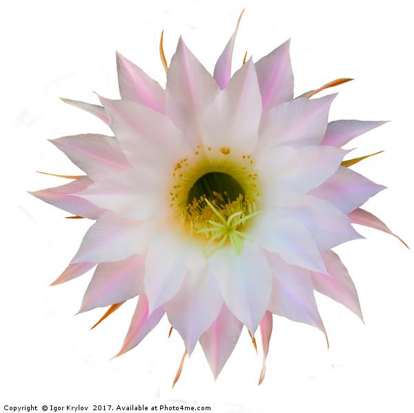 Flower of cactus on white Canvas print by Igor Krylov