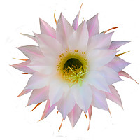 Buy canvas prints of Flower of cactus on white by Igor Krylov