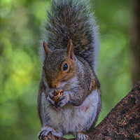 Buy canvas prints of Squirrel. by Angela Aird