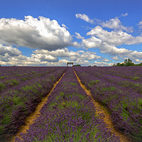 Buy canvas prints of Lavender. by Angela Aird