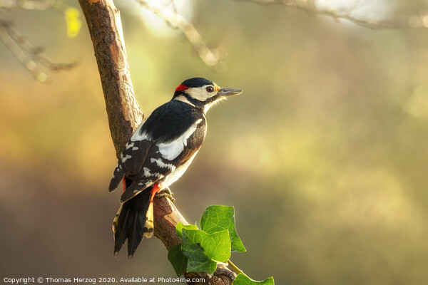 Great spotted Woodpecker Framed Mounted Print by Thomas Herzog