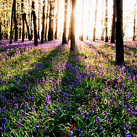 Buy canvas prints of Shadowy Bluebell Woods by Mark Greenwood