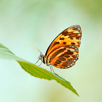 Buy canvas prints of Butterfly Love  by Tanja Riedel