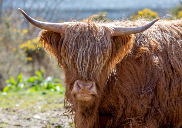 Highland Cow Canvas print by Tony Bishop