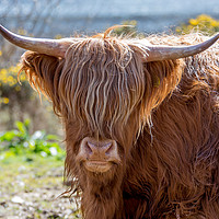Buy canvas prints of Highland Cow by Tony Bishop