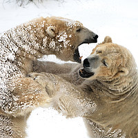 Buy canvas prints of Fighting Bears by Tony Bishop