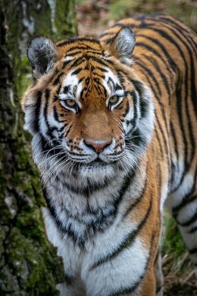 Amur Tiger Canvas print by Tony Bishop
