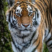 Buy canvas prints of Amur Tiger by Tony Bishop
