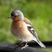 Buy canvas prints of Curious chaffinch by Rhonda Surman