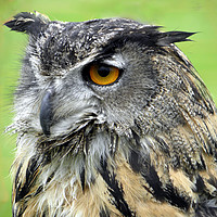 Buy canvas prints of Eurasian Eagle Owl by Rhonda Surman