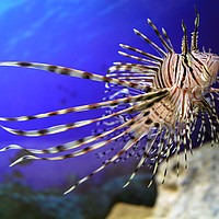 Buy canvas prints of Lion fish in the aquarium with corals and algae aq by Roman Korotkov