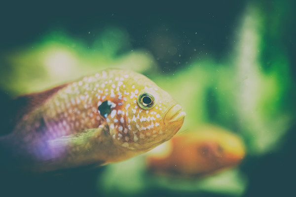 Hemichromis Lifalili Fish Framed Print by Radu Bercan