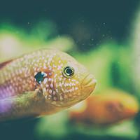 Buy canvas prints of Hemichromis Lifalili Fish by Radu Bercan