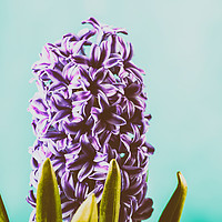 Buy canvas prints of Common Dutch Garden Hyacinth by Radu Bercan