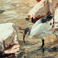 Buy canvas prints of Wild African Sacred Ibis Bird by Radu Bercan