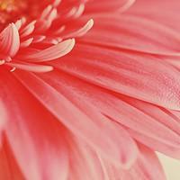 Buy canvas prints of Pink Gerbera Flower Petals Abstract Macro by Radu Bercan