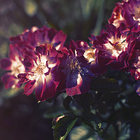 Buy canvas prints of A Touch of Summer by Chris Roberts