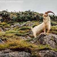 Buy canvas prints of Kashmiri goat by Kevin Elias