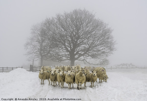 Winter Woolies Canvas print by Amanda Ainsley