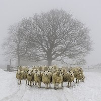 Buy canvas prints of Winter Woolies by Amanda Ainsley
