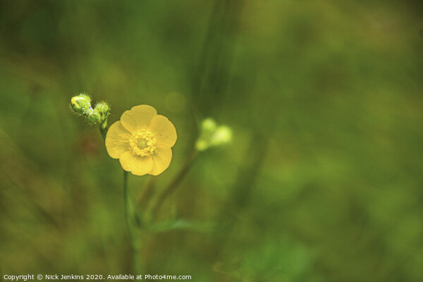 A solitary meadow buttercup on a large common  Framed Print by Nick Jenkins