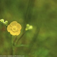 Buy canvas prints of A solitary meadow buttercup on a large common  by Nick Jenkins
