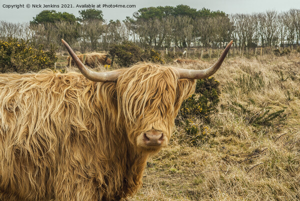 Highland Cow near St Davids Pembrokeshire Framed Print by Nick Jenkins