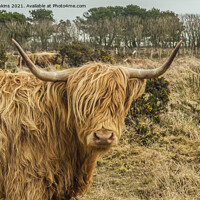 Buy canvas prints of Highland Cow near St Davids Pembrokeshire by Nick Jenkins