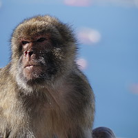 Buy canvas prints of Gibraltar Rock Ape by Paul Coleman