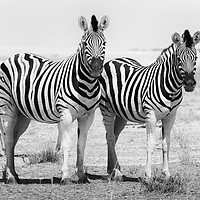 Buy canvas prints of Curious zebras  by Angus McComiskey
