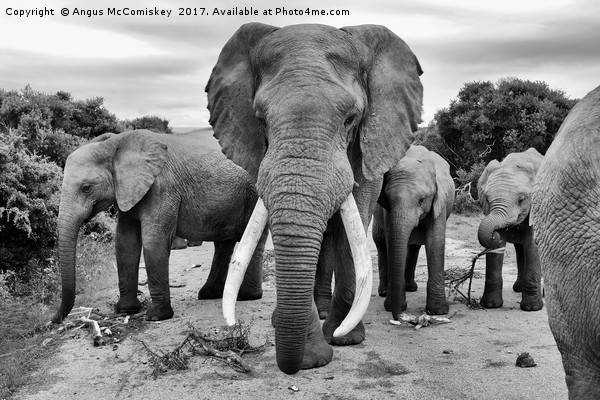 Traffic jam at Addo Elephant Park (mono) Canvas print by Angus McComiskey