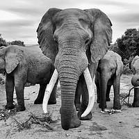 Buy canvas prints of Traffic jam at Addo Elephant Park (mono) by Angus McComiskey