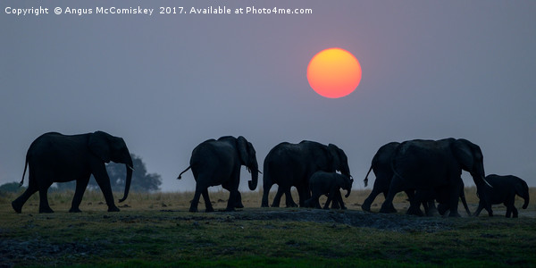 Elephants on the move at sunset Canvas Print by Angus McComiskey