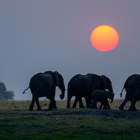 Buy canvas prints of Elephants on the move at sunset by Angus McComiskey